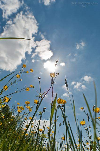 Buttercups growing towards the sun